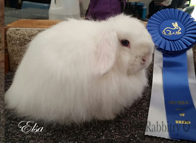 Elsa Blue Eyed White fuzzy lop doe
