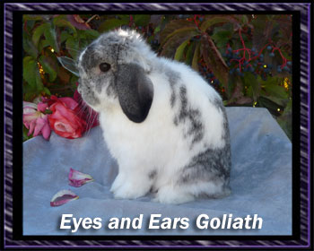 Grand Champion Goliath Broken Chin Holland lop