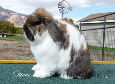 Ormond's Oliver holland lop buck