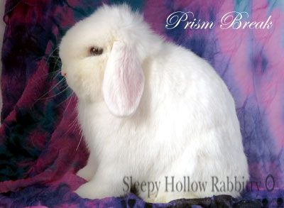 Prism Break Blue eyed white  holland lop buck