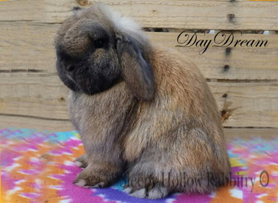 tort holland lop doe