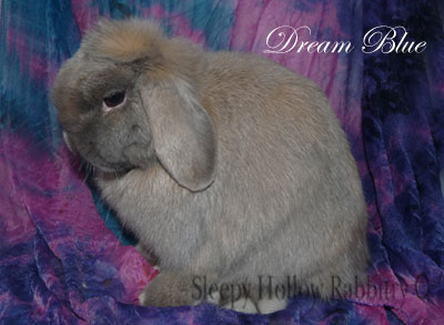 blue tort holland lop doe