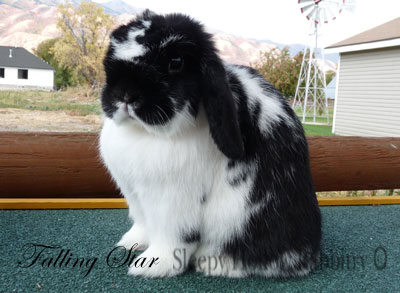 Sugden's Falling Star broken black holland lop