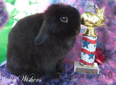 Skywishes black holland lop doe