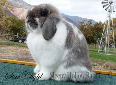 broken blue tort Holland lop