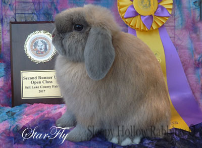 blue tort Holland lop