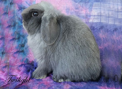 Twilight blue holland lop doe